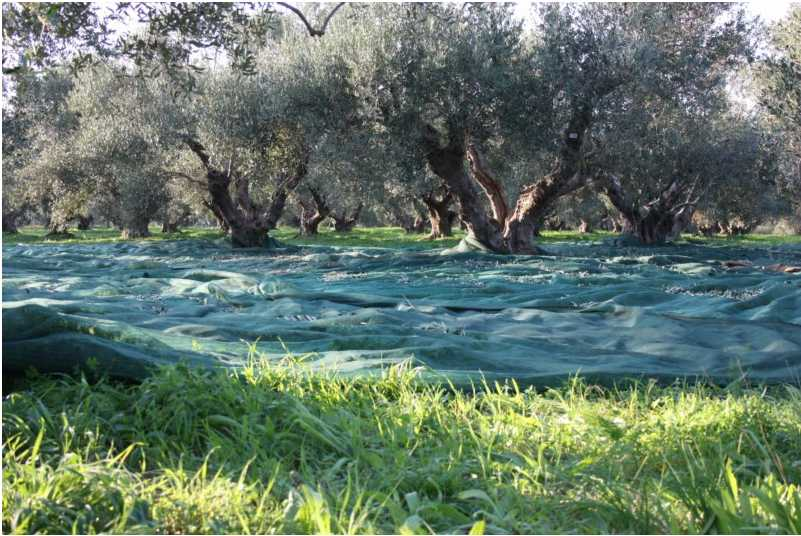 PYRGOS: MERKOURI OLIVE GROVES